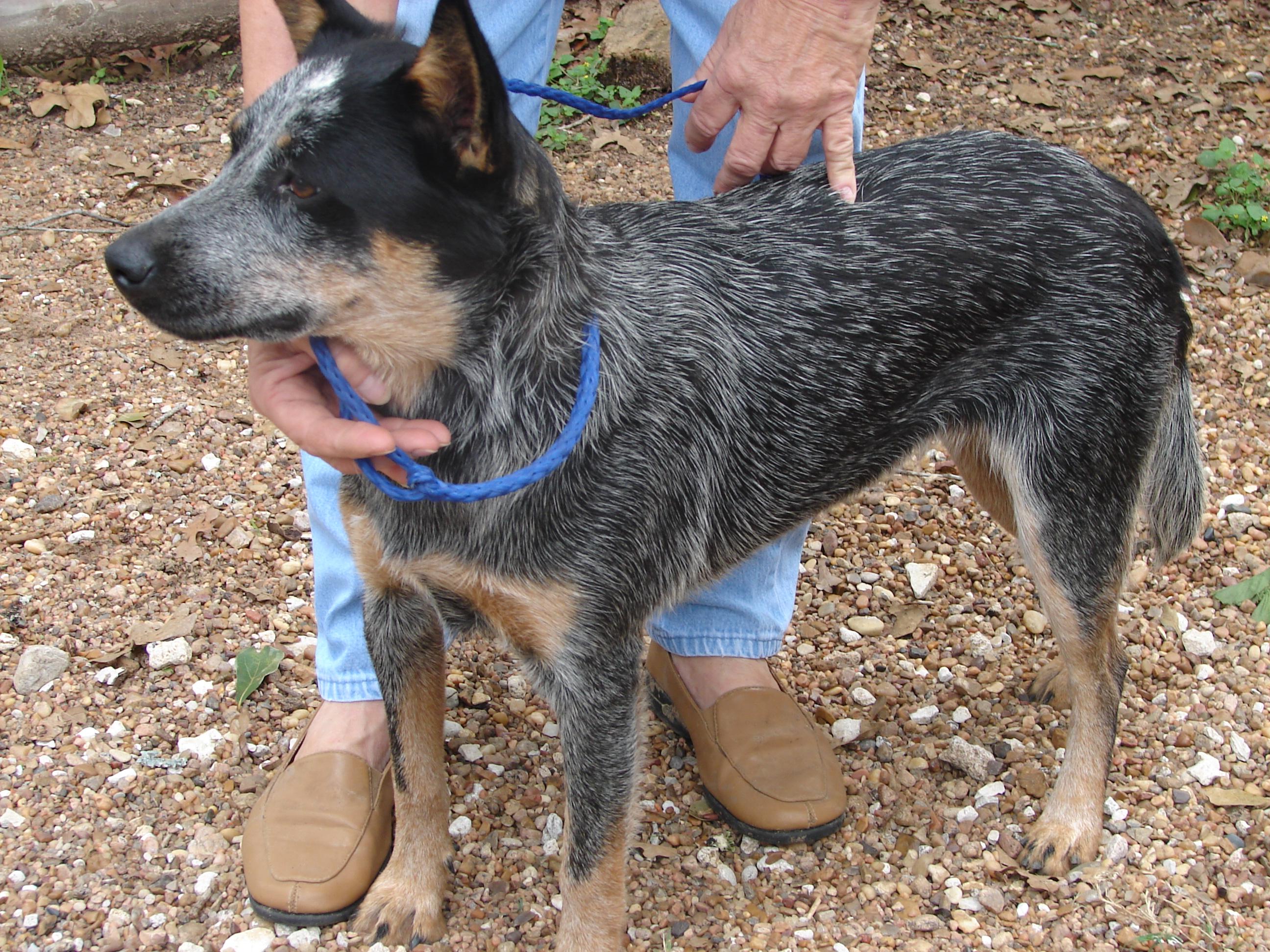 1 Year Female Beagle Cross Dog For Adoption: PAAWS-tx.org [Pet Adoption And Animal Welfare Society]
